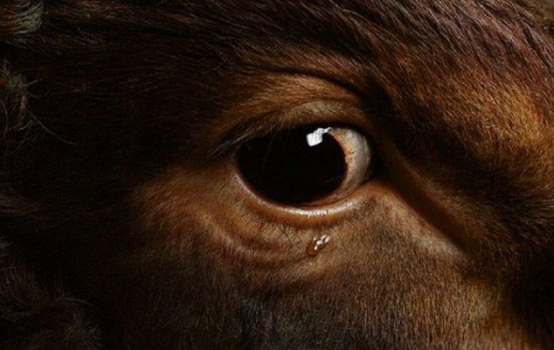 Коровьи глаза