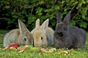 кролик, редька, зеленый, дикий, кормить кроликов