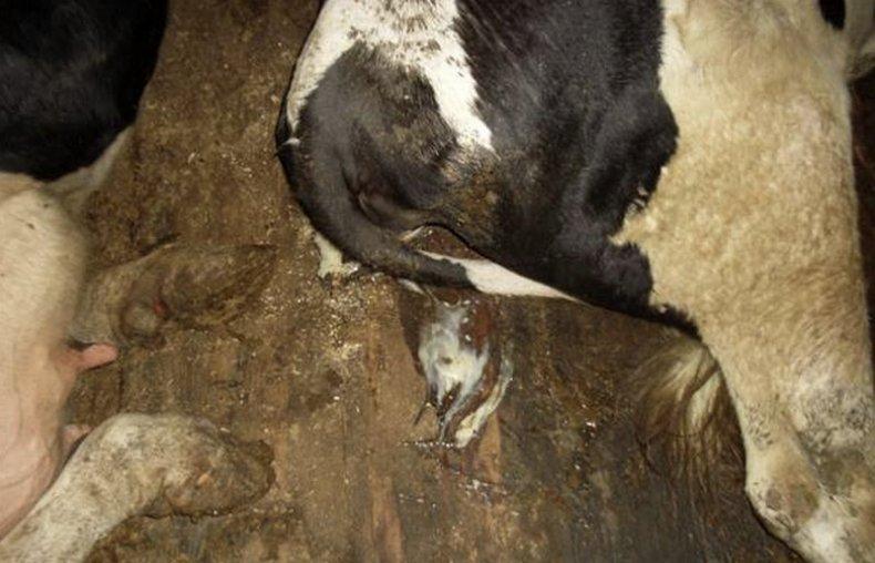 ящур у коров в матке картинки
