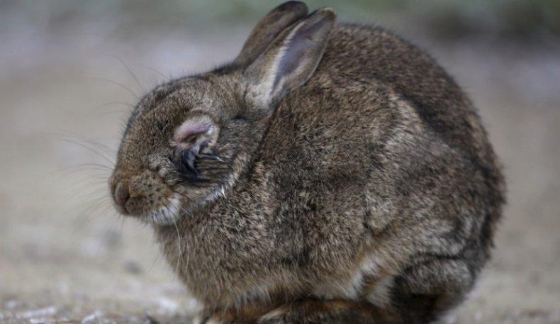 кролик, гноить, глаз, причина