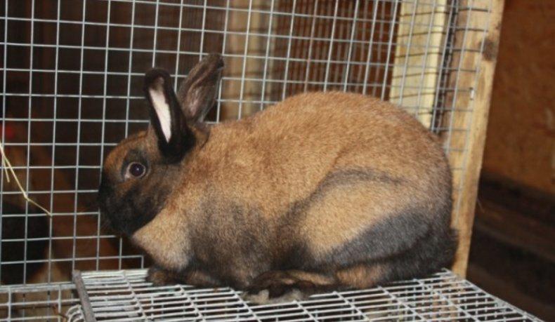 тюрингенский, кролик, описание, содержание, кормление, разведение