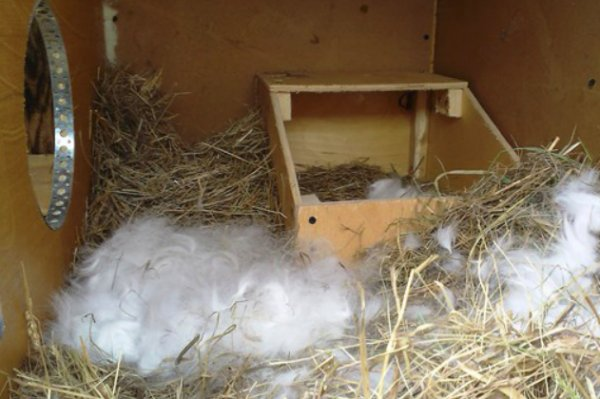 Крольчиха не нарвала пух для крольчат