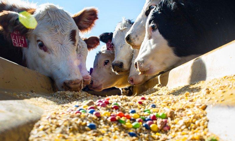 Кормовые добавки для дойных коров