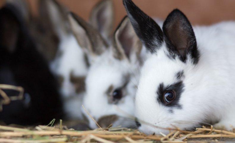 Кролики едят солому