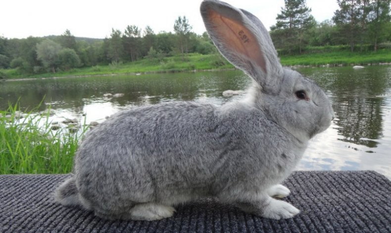 кролик, горячее, причина, сосуды кровообращения