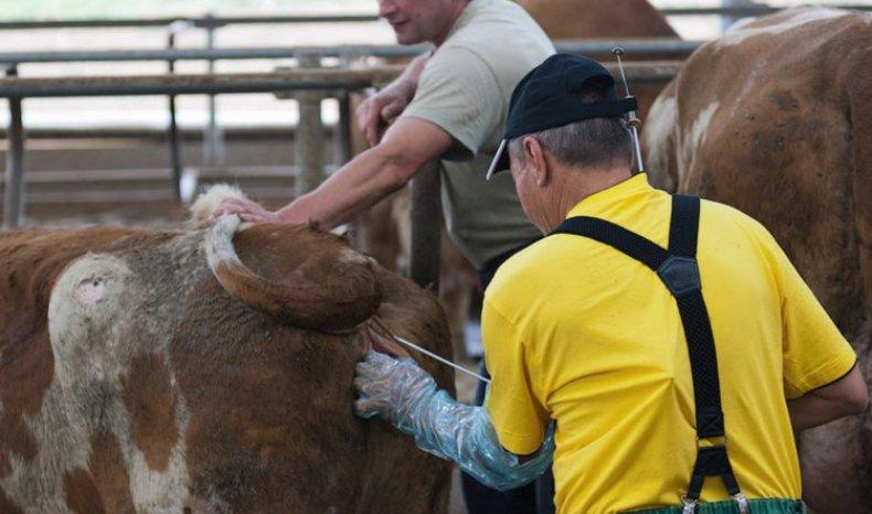 Искусственное осеменение, как вариант заражения коровы трихомонозом