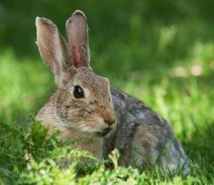 кролик, скрипеть, причина, заяц поскрипывает, заяц поскрипывает зубами
