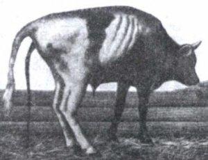 Животное, больное чумой