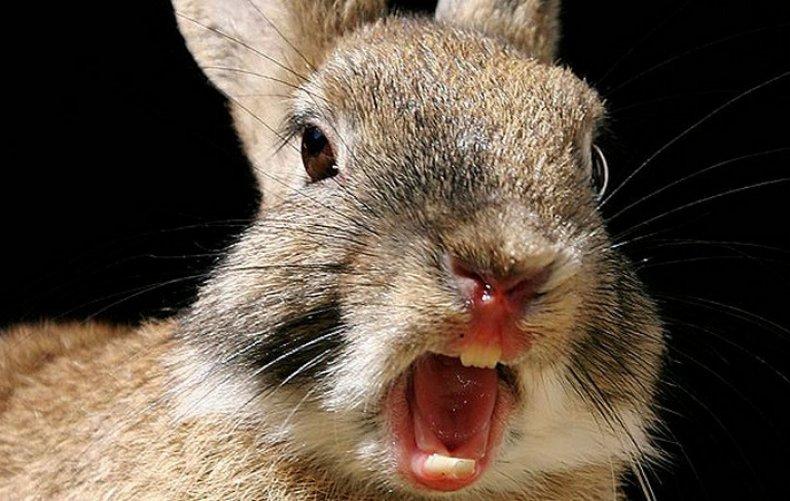 Кролик рычит