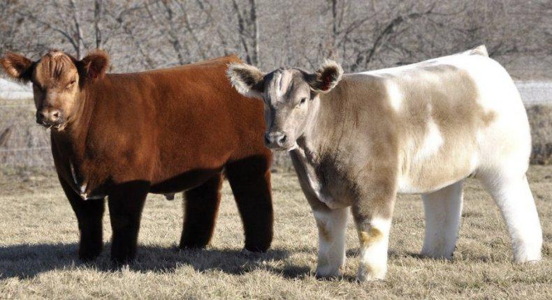 мини коровы породы