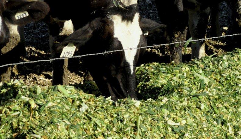 Коровы едят силос