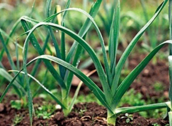 Как правильно посеять лук порей