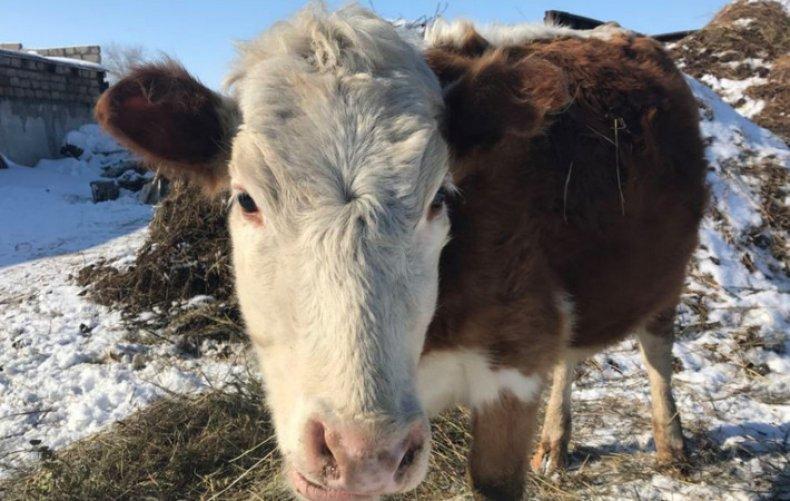 ящур, рогатый, скот, симптом, лечение