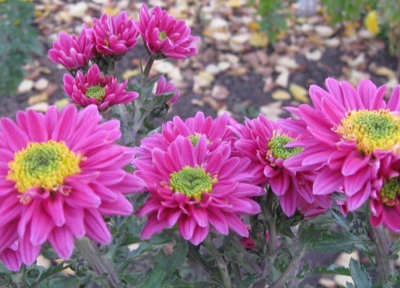 сорт, хризантема, различать, цветок, соцветие