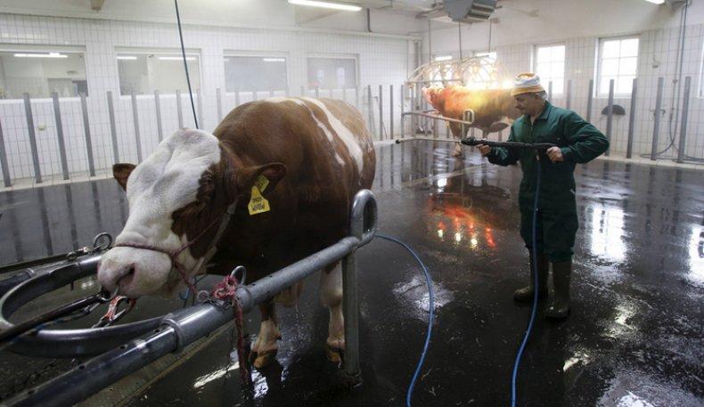 Подготовка быка к взятию спермы