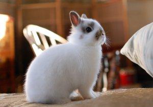 Голландский декоративный кролик