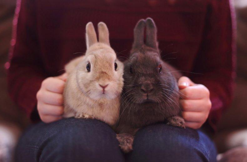 Голландские декоративные кролики