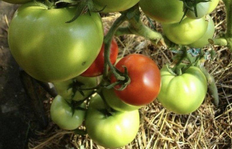 Характеристика томата Мамина любовь и агротехника культивирования
