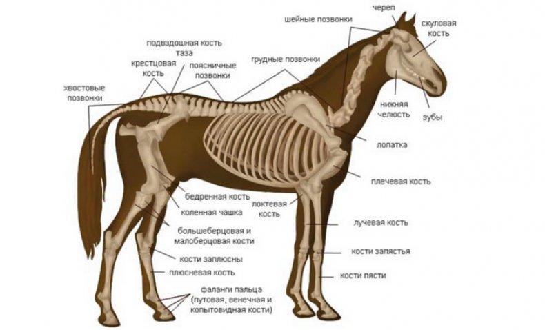 Строение скелета лошади