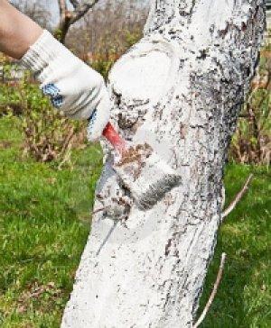 Побелка защищает дерево вредителей и ожогов