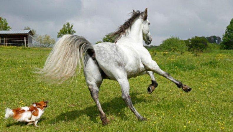 хвост, лошадь, ухаживать, заплетать, мягкими шелковистыми