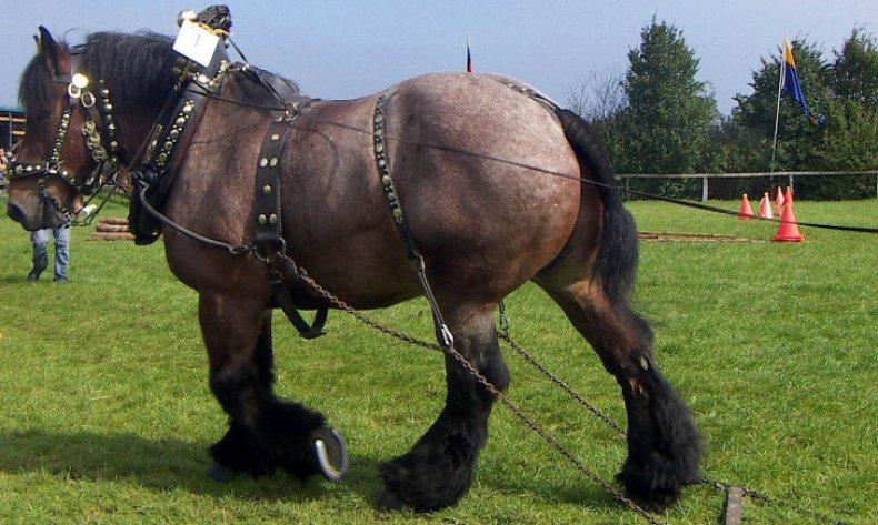 першерон, конь, обработки земли