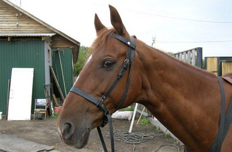 хакамора, лошадь, 3-ий ремешок, безтрензельной узды, заезда молодых, кожаный ремешок