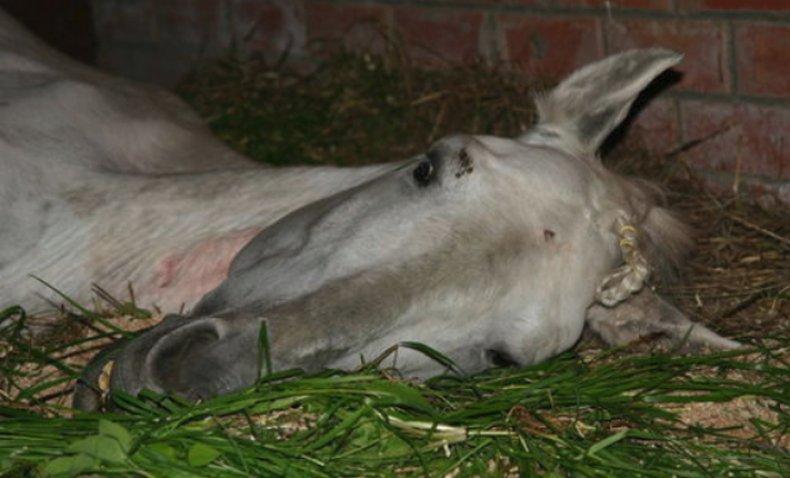 Инфекционная анемия у лошади