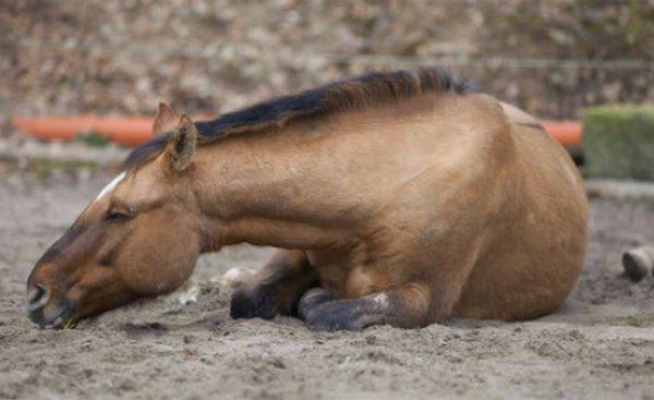 Анемия у лошади симптомы thumbnail
