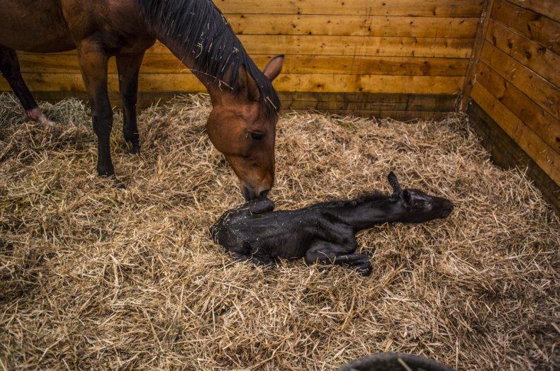 Роды лошади