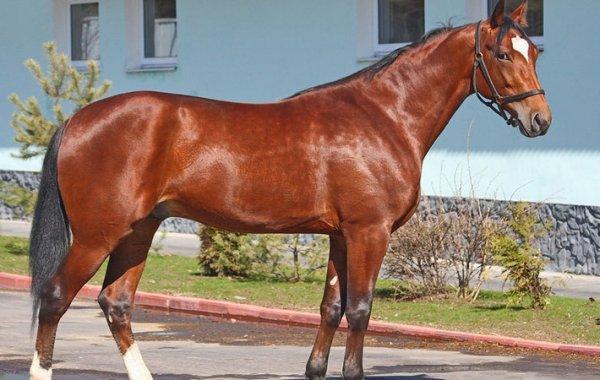 Порода лошадей Русский рысак описание содержание уход