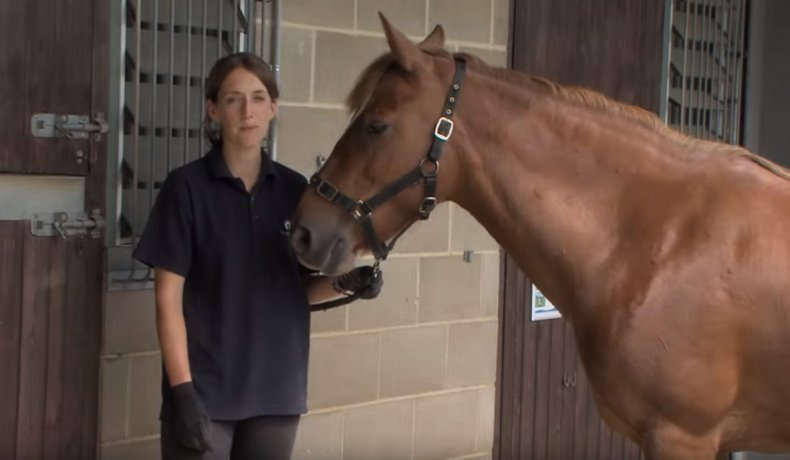 Как измерить температуру тела лошади