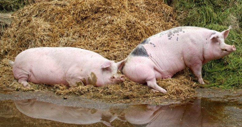 температура, свинья, лечение, симптом