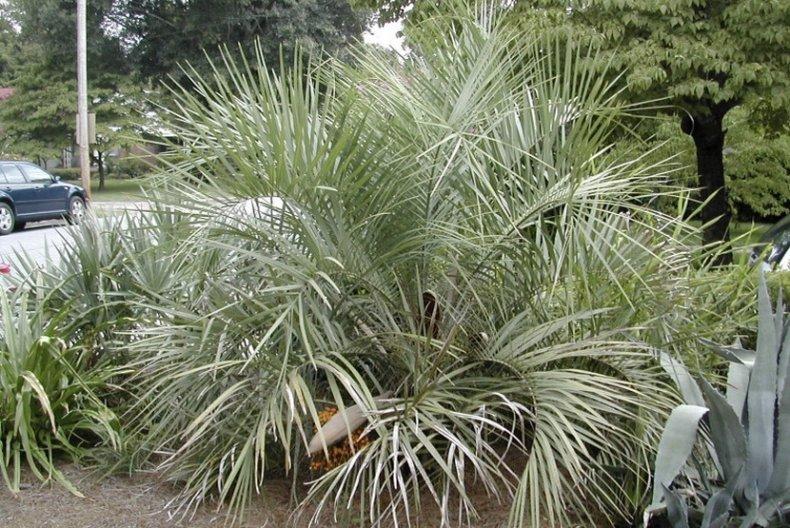 Бутия (комнатные растения) уход в домашних условиях, размножение и пересадка