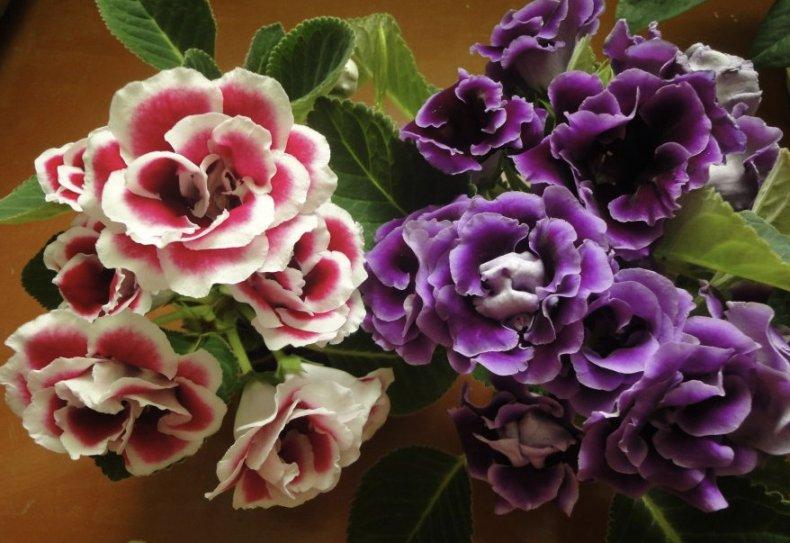 Цветущие глоксинии