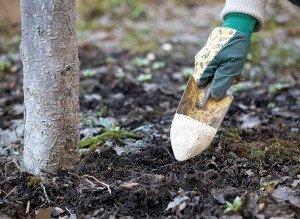 Удобрения вносят начиная со второго года жизни дерева