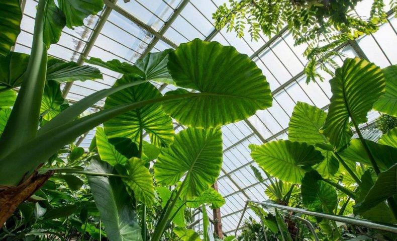 Алоказия крупнокорневая (комнатные растения) способы выращивания и ухода в домашних условиях, фото