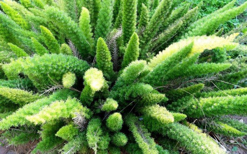 Аспарагус Мейера (комнатные растения) уход в домашних условиях, выращивание из семян, фото