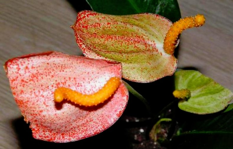 Антуриум «Шерцера» (комнатные растения) характеристика, уход в домашних условиях, сорта, фото