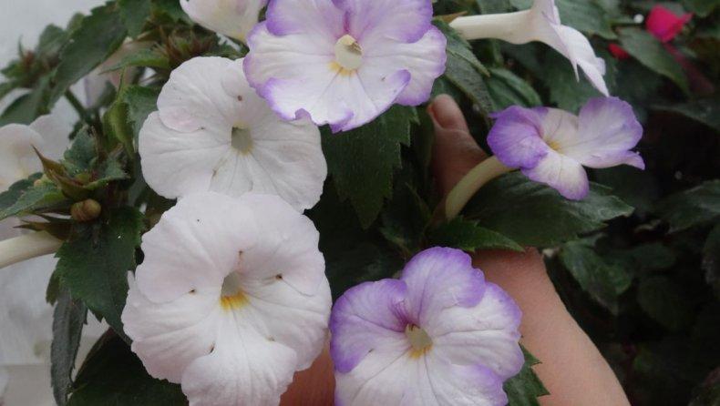 Ахименес сорта и их названия с описанием, уход и выращивание, фото