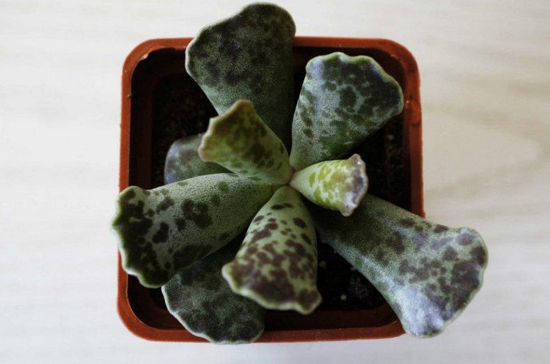 Адромискус (комнатные растения) виды, фото, уход в домашних условиях, размножение