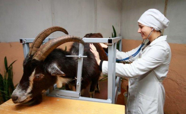 Ветеринар с козой