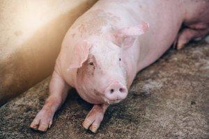 Как вывести глисты у свиней и поросят
