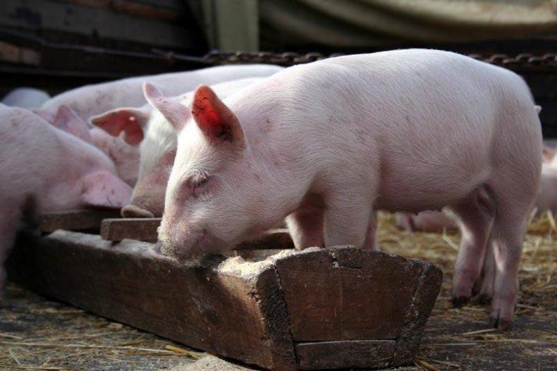 Профилактика свиней от глистов