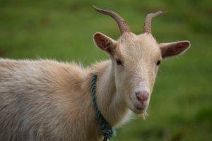 Кровь в молоке у козы: причины и способы их решения