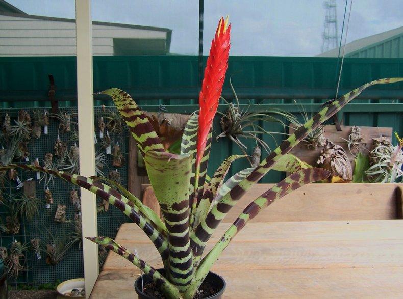 Вриезия спленриет описание растения, выращивание и уход в домашних условиях, как поливать и