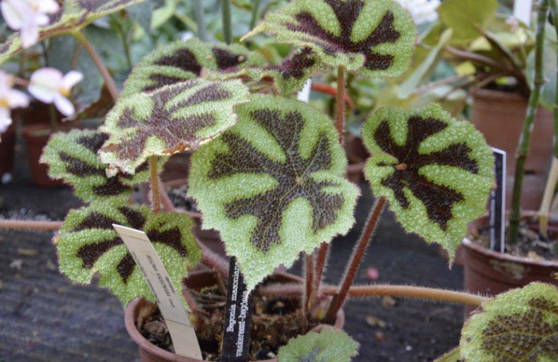 Бегония Мэсона описание комнатного растения, уход в домашних условиях, особенности размножения, фото