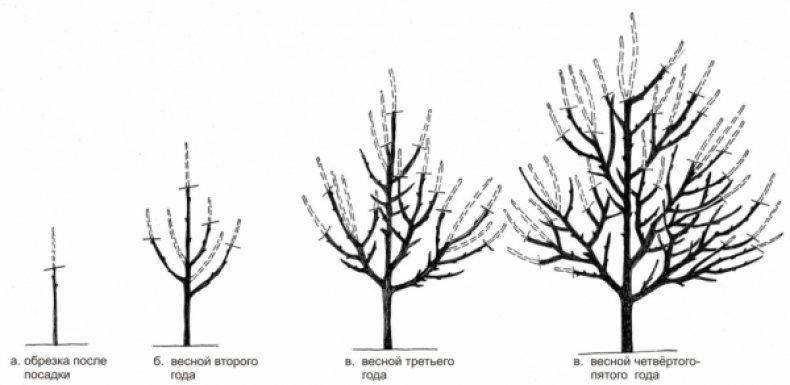 Важно обрезать ветки правильно, чтобы не повредить дерево