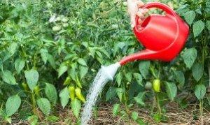 Поливы очень важны для будущего урожая