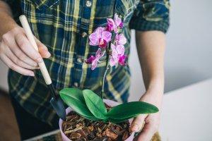 уход, орхидея, домашний, пересадка, размножение